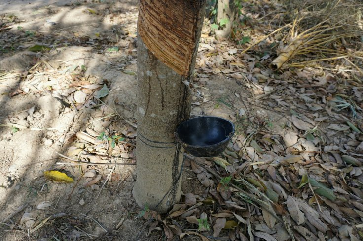 dsc09523 kon tum rubber tree~2-595322565..jpg