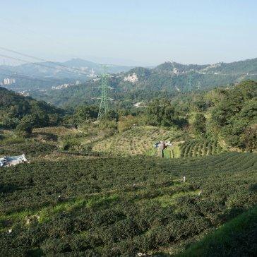 Tee plantations